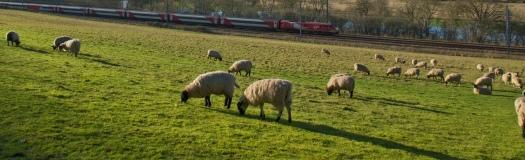 FDP_SheepLR